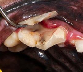 Chewing Bones Is Bad Bad Bad For Teeth Vetzinsight Vin