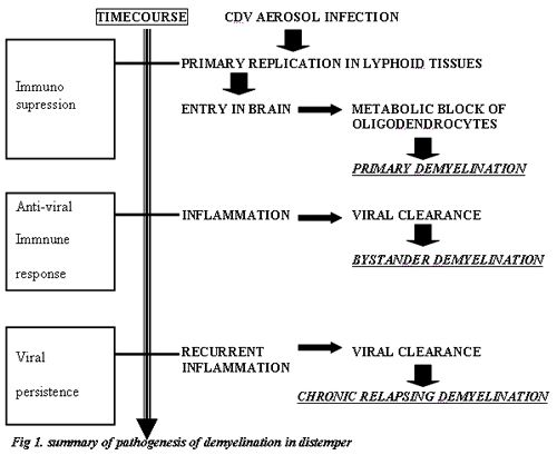 Figure 1. Summary of pathogenesis of demyelination in distemper
