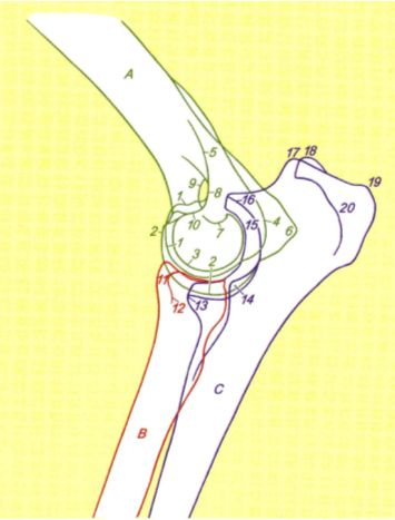 Anatomy Of The Elbow Joint And Denotation Of Elbow Diseases