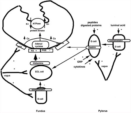 Figure 1. Regulation of acid secretion.