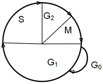 Figure 1. The cell cycle.