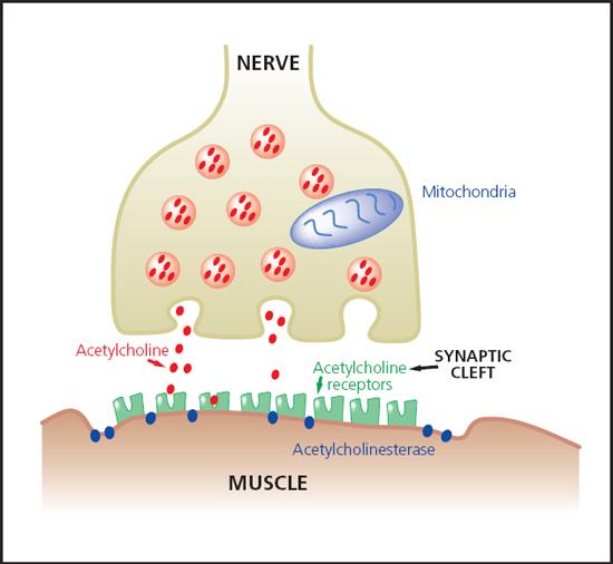 Understanding Neuromuscular Blockade Bsava2012 Vin