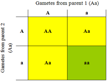 Figure 1. Punnett square showing the genotypes and phenotypes from crossing two heterozygote parents