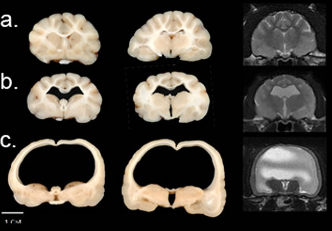 Figure 2. An unaffected, a moderately affected, and a severely affected cat coronal sections and MRI images