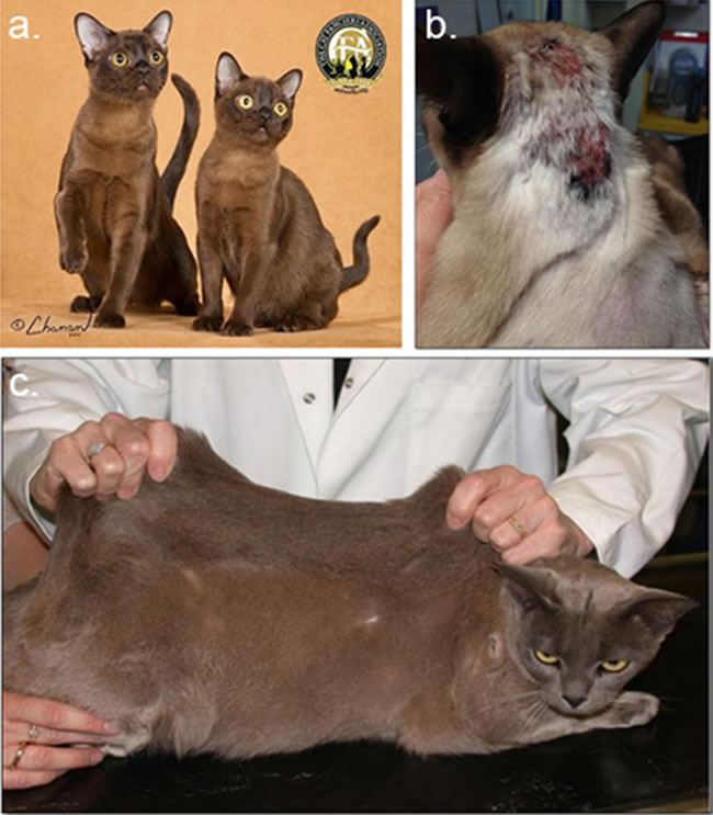 Figure 1. Unaffected and affected Burmese cats