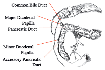 Anatomical relationship of pancreatic ducts