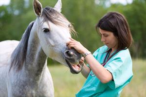 vet checking horse's mouth