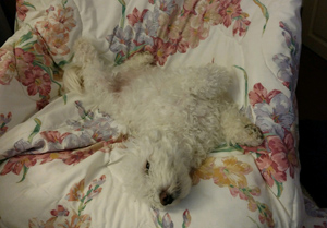 bichon in upholstered chair